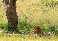A male Lion, Panthera leo  melanochaita, rests in the shade of a tree in Maasai Mara National Reserve, Kenya