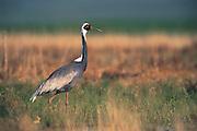 White-naped crane<br /> (Grus vipio)<br /> Endangered<br /> Eastern Steppe<br /> Mongolia<br /> Range: Siberia & Manchuria