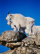 Mountain goats, Oreamnos americanus, Mount Rushmore National Memorial, South Dakota.