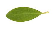 Equal-leaved Knotgrass - Polygonum arenastrum