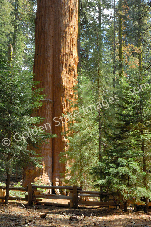 The General Sherman Sequoia tree is the living largest tree in the world and is generally considered the largest living thing in the world, with an estimated age of over 2,300 years.<br /> <br /> It stands over 275 feet tall and has a circumference at its base of over 102 feet. Its weight is estimated to exceed 6100 tons.    <br /> <br /> Although hard to believe its said that the General Sherman adds enough new wood each year to produce the equivalent of  another sixty foot tall tree.     <br /> <br /> Park visitors are dwarfed by the trunk of the General Sherman tree.    <br /> <br /> Species: Sequoiadendron giganteum