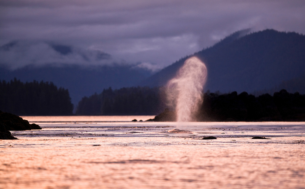 USA, Alaska, Humpback Whale (Megaptera novaengliae) sends up spout of spray while surfacing to breath in Frederick Sound