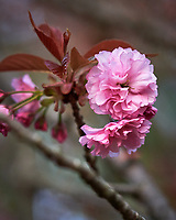 Pink Plum tree flower. Image taken with a Nikon D850 camera and 105 mm f/1.4 lens (ISO 800, 105 mm, f/2.8, 1/1250 sec)