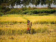 27 FEBRUARY 2015 - PONHEA LEU, KANDAL, CAMBODIA:   A child cuts rice by hand with a scythe in her family's paddies during the rice harvest in Kandal province, Cambodia. Kandal province is an agricultural province north of Phnom Penh.  PHOTO BY JACK KURTZ