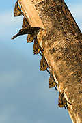 Proboscis Bat (Rhynchonycteris naso)<br /> Yasuni National Park, Amazon Rainforest<br /> ECUADOR. South America<br /> HABITAT & RANGE: Aerial, near water, on barks of big trees grouped in Harems. Primary and secondary lowland rainforests of Central and South America