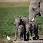 Elephant family, Amboseli