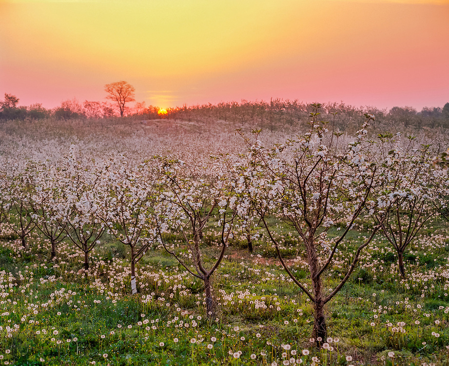Sunrise over apple orchard in bloom, with dandelion puffballs, Winchester VA