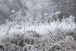 Hoar frost on seedheads in a wintry field on Gloucestershire. Hogweed, Heracleum sphondylium