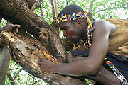 Africa, Tanzania, Lake Eyasi, Hadza tribesman harvesting honey from the hallow in a baobab tree Hadza are a Small tribe of hunter gatherers AKA Hadzabe Tribe