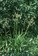 Great Wood-rush (Luzula sylvatica) HEIGHT to 80cm. Robust, tufted perennial of woodlands and rocky, upland terrain, mainly on acid soils. FLOWERS Brown, in heads of 3 in branched, open clusters (June-July). FRUITS Brown, egg-shaped. LEAVES 5-20mm across, hairy, glossy.