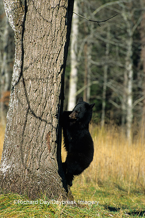 01872-00416 Black Bear (Ursus americanus) cub climbing tree Great Smoky Mountains National Park  TN