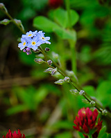 Forget-me-not. Image taken with a Fuji X-T2 camera and 100-400 mm OIS lens.