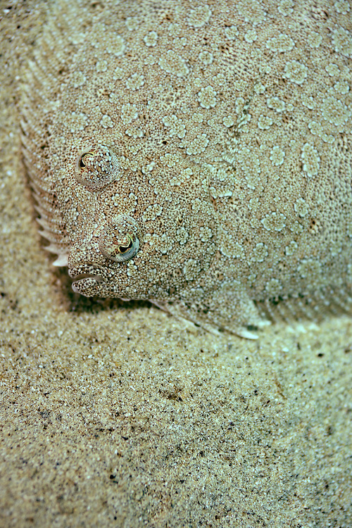 Wide-eyed flounder (Bothus podas), Gozo, Maltese Islands