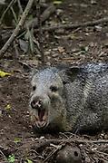 Collared peccary (Pecari tajacu)<br /> Belize,<br /> Central America<br /> Captive