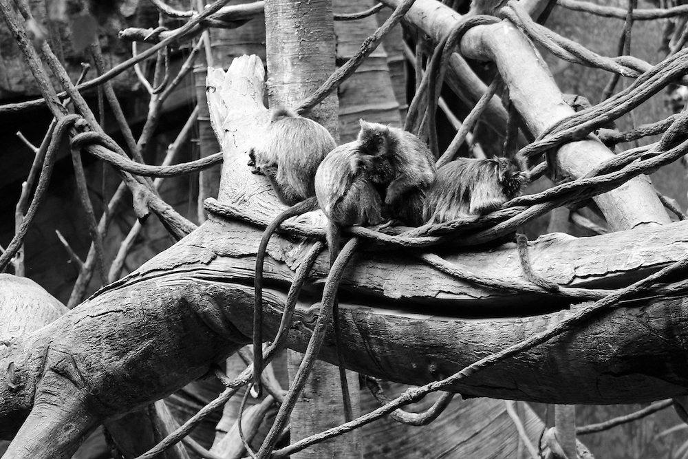 "Monkeys, Bronx Zoo – 8""x12"", Digital photo print, edition 1/75, 2012"