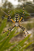 The biggest black-and-yellow garden spider (Argiope aurantia) I've ever seen! This huge female was positioned on her massive orb web between a couple clumps of palmettos and some live oaks near Hickey's Creek in Alva, Florida.