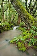 Cataract creek near Bolinas Ridge on Mt. Tamalpais, Marin County, California