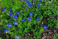 Alpine Gentian wildflowers in the Bob Marshall Wilderness, Montana, USA