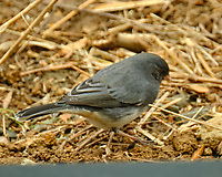 Dark-eyed Junco (Junco hyemalis). Image taken with a Fuji X-T2 camera and 100-400 mm OIS lens.