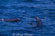 melon-headed whales, Peponocephala electra, spyhopping, Nuku Hiva, Marquesas Islands, French Polynesia ( South Pacific Ocean )