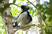 Indri, Indri indri, sitting in tree, Analamazaotra Reserve, Madagascar, IUCN Red Data List, Critically Endangered, also called the babakoto, is one of the largest living lemurs. It is a diurnal tree-dweller related to the sifakas and, like all lemurs, it