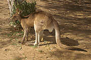 The eastern grey kangaroo (Macropus giganteus) is a marsupial found in the eastern third of Australia, with a population of several million. It is also known as the great grey kangaroo and the forester kangaroo. Although a big eastern grey male typically weighs around 66 kg (146 lb) and stands almost 2 m (6 ft 7 in) tall,