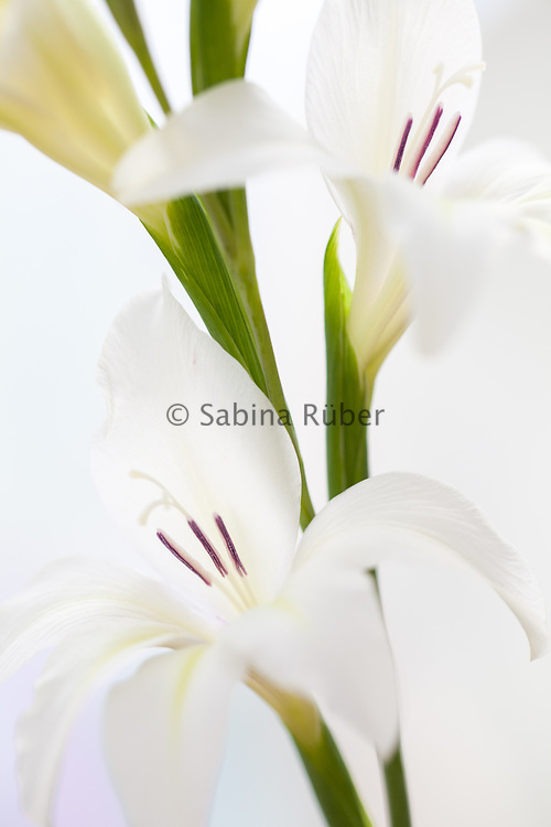 Gladiolus × colvillii 'The Bride' - sword lily