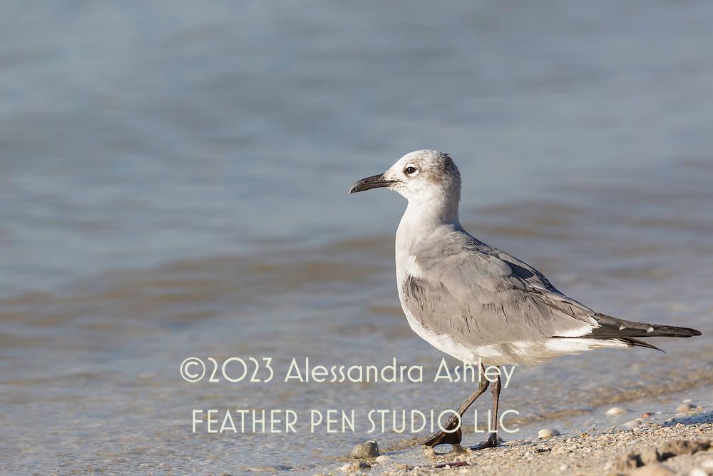 Laughing gull (Leucophaeus atricilla) in winter plumage tests the waters. Sanibel, FL.