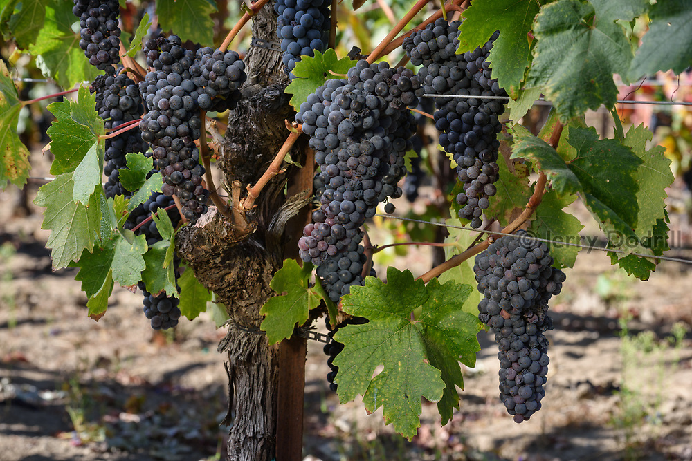 Zinfandel grapes ready for harvest at Square Peg Winery, near Occidental, Sonoma County, California