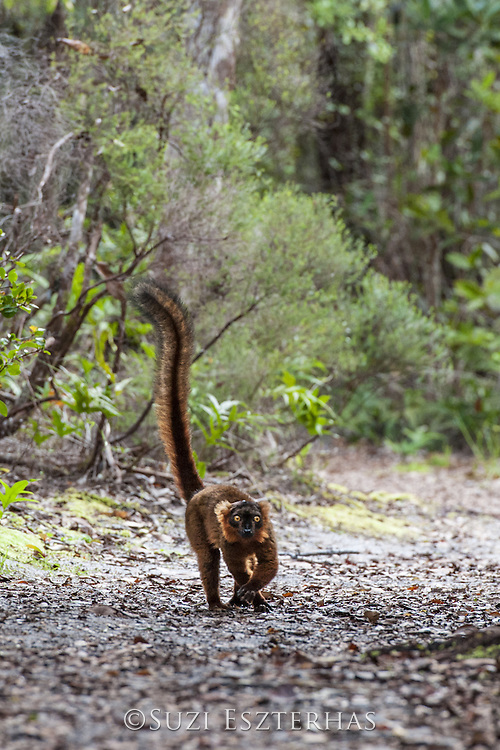 Hybrid of black lemur (Lemur macaco) and common brown lemur (Eulemur fulvus)<br /> East Coast of Madagascar, Africa
