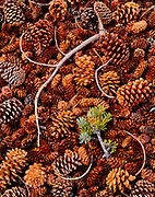 Branch Fallen on Cones of Bristlecone Pine, Limber Pine and Engelmann Spruce, Great Basin National Park, Nevada