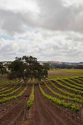 Vineyard in San Luis Obispo