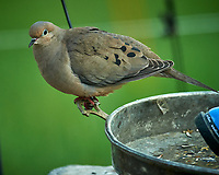 Mourning Dove. Image taken with a Nikon D5 camera and 600 mm f/4 VR lens.