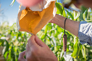 Bill Tracy captures pollin from an ear of corn inside a bag to be applied by hand to an ear of corn.