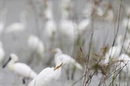 Great White Egrets, Ardea alba, Tainan Taiwan