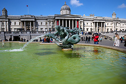 © Licensed to London News Pictures. 04/05/2019. London, UK. Trafalgar Square fountains covered in green algae. Recent warm weather in the capital has caused large amounts of green algae to form in the ponds in Trafalgar Square's fountains. Photo credit: Dinendra Haria/LNP