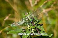 06361-005.10 Common Green Darner (Anax junius) female, Marion Co. IL