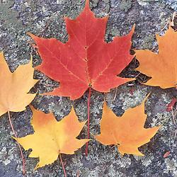 Rye, NH.  Sugar maple leaves, Acer Sachharum, in the fall.