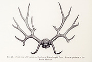 Frontlet and antlers Schomburgk's Deer (Rucervus schomburgki) Probably extinct from the book ' The deer of all lands : a history of the family Cervidae, living and extinct ' by Richard Lydekker, Published in London by Ward 1898
