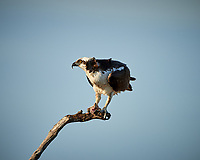 Osprey with a fish for dinner. Biolab Road in Merritt Island National Wildlife Refuge. Image taken with a Nikon D800 camera and 500 mm f/4 VR lens (ISO 100, 500 mm, f/8, 1/640 sec).