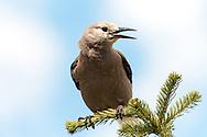 Clark's Nutcracker (Nucifraga columbiana), North Cascades National Park.