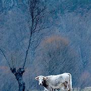 Cow at pasture at Castilla y León province during snowfall