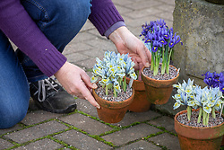 Placing pots of winter iris on a patio - Iris 'Katharine Hodgkin' Reticulata AGM and Iris 'Harmony'