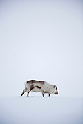 A young reindeer wanders in the icy landscape of Spitsbergen in the arctic archipelago of Svalbard, Norway