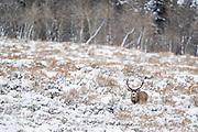 Mule deer Mule deer buck
