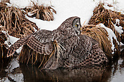 Great Gray Owl with wings and tail in a Jackson Hole stream after a failed attempt at a vole.