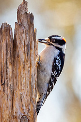 A Small Downy Woodpecker On The Side Of A Dead Tree Trunk With A Sunflower Seed.