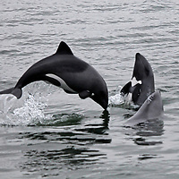 Africa, Namibia, Walvis Bay. The Heaviside's Dolphin, or Haviside's Dolphin, found off the coast of Namibia.