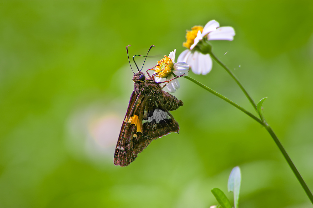 Silver spotted skipper deep in a swamp in Collier County, Florida.