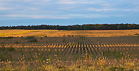 Farm field in early morning light near Strathroy, Ontario, Canada.